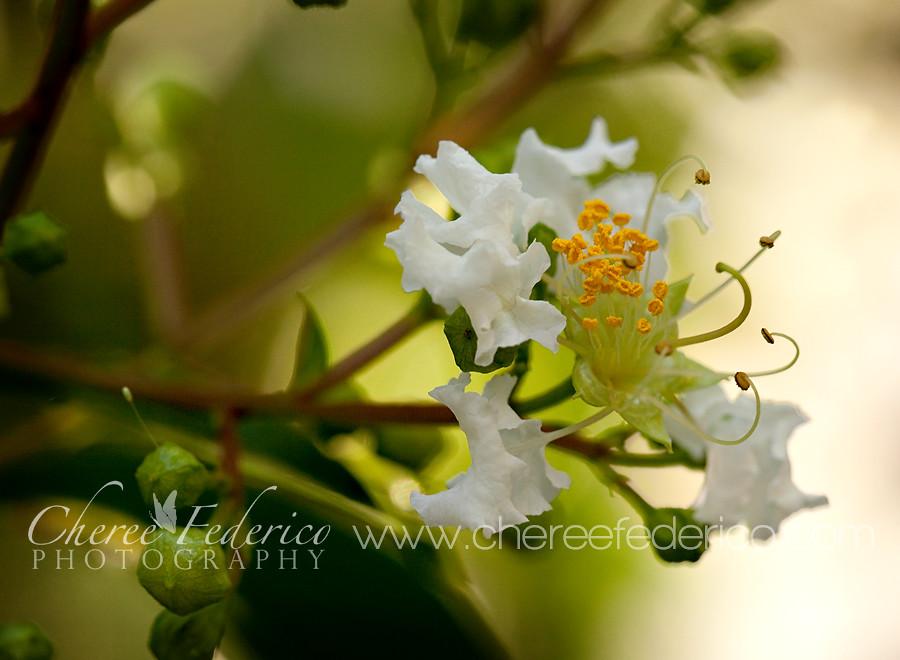 Crepe Blossom