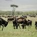 A manada de gnus, apos a travessia
