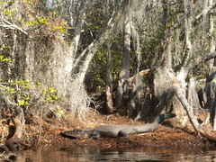Gator sunning along the canal