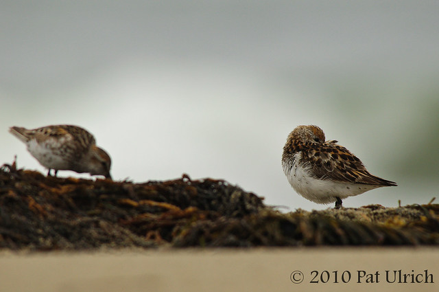 Western sandpipers - Pat Ulrich Wildlife Photography