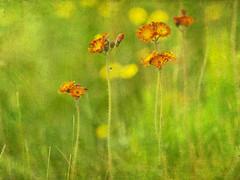 pervires (monilague) Tags: flowers plants nature grass fleurs rouge t saisons plantes beauce herbes pervires
