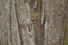 Little bird in big tree (Christophe Maerten) Tags: red canada mountains tree bird make nest little parks rocky unesco cedar area huge protected westerncanada gebied beschermd thuya plicata