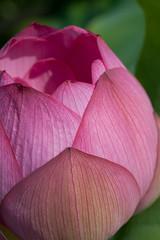 Summer Lotus (shinichiro*) Tags: summer flower macro japan lotus july saitama crazyshin 2011 gyoda nikond3 古代蓮の里 行田 makroplanart2100zf dsa8607