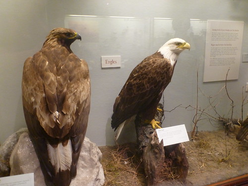 Golden and Bald Eagles