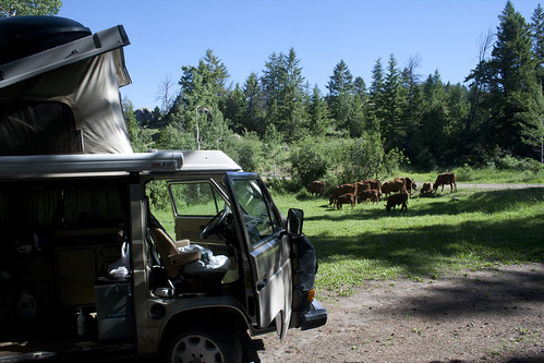camp-cows