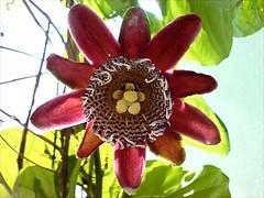 Passion Fruit flower (SJNeto) Tags: flowers flower planta rose fruit papaya rosa fruta passion folha flôr orquídea maracujá mamão flôres botões flôr maracujá