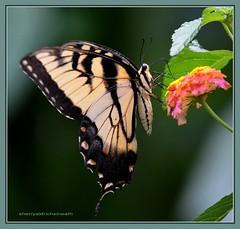 Eastern Tiger Swallowtail Butterfly (sanskritlady) Tags: butterfly flying inflight nikon tiger flight eastern swallowtail easterntigerswallowtail naturesfinest supershot topshots specanimal colorphotoaward 10nw natureselegantshots d7000 panaramafotografico thebestofmimamorsgroups nikond7000 theoriginalgoldseal 5wonderwall
