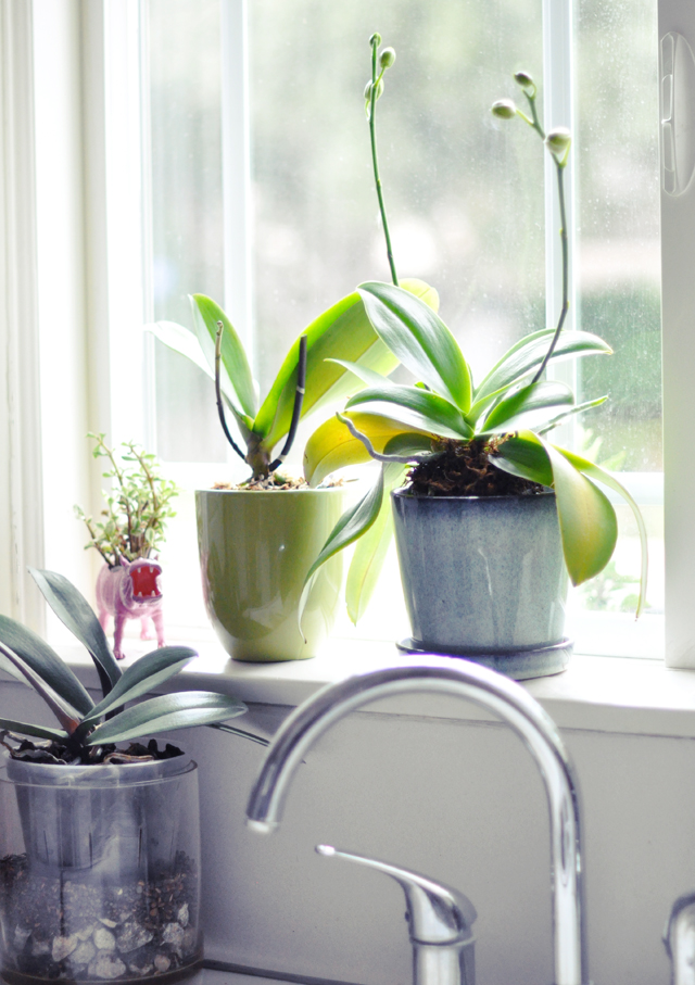 regrowing orchids in my kitchen