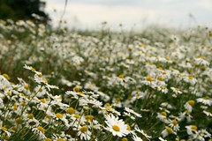 Daisies (Adam Lines Photography.) Tags: flowers summer sun nature daisies countryside north fields warwickshire