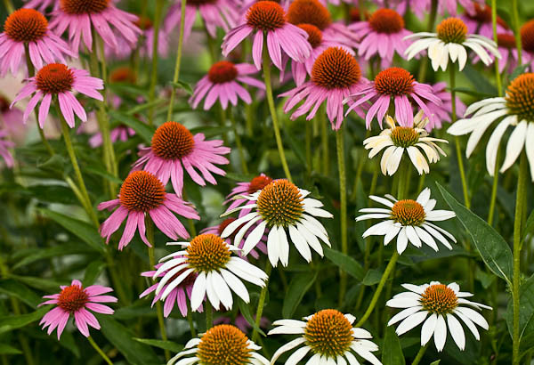 Mixed Coneflowers