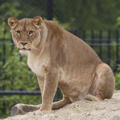 Waiting for diner (Harm Weitering) Tags: zoo nikon lion sigma emmen noorderdierenpark leeuw d5000