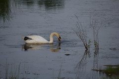 Summertime fun-34.jpg (raggedyandy321) Tags: heron nature water grass birds reflections swan fishing pond fuzzy signet rare blackbird greatblueheron peacefull beachbird birdsfishing