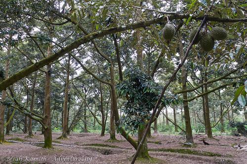 Durian orchard, Mekong delta, Vietnam