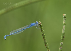 Damselfly and Aphids (Glenn Anderson.) Tags: food macro grass closeup seed damselfly a850 aphide
