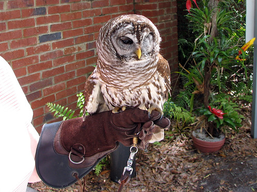 Merlin the Barred Owl
