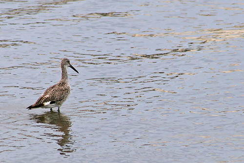 Day 207: Fishing Willet