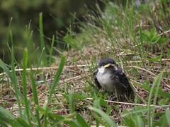 Il passero solitario (Motalli da Teglio) Tags: macro bird animal sparrow animaux makro animale tier vogel oiseaux uccello passero macrofotografia sperling