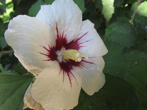 blue Hibiscus dream: Hibiscus flower violett purple violet… | Flickr
