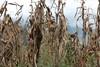 Corn (janeymoffat) Tags: music ecuador cornfield andeanmusic abd cotacachi nandamanachi adventuresbydisney flutemakingdemonstration loshermanospichamba