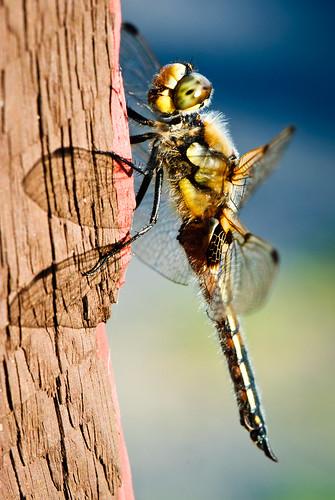 2011 07 12 Dragonflies 020