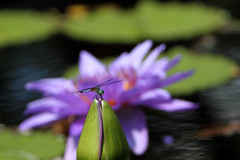 Dragon Fly (John Pope Photography) Tags: green canon botanical day lily purple dragonfly bokeh pad lilypad oof birminghambotanicalmuseum