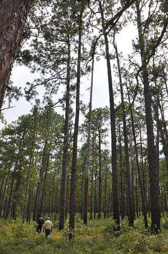 Mature longleaf pine trees reaches to the sky in East Texas.
