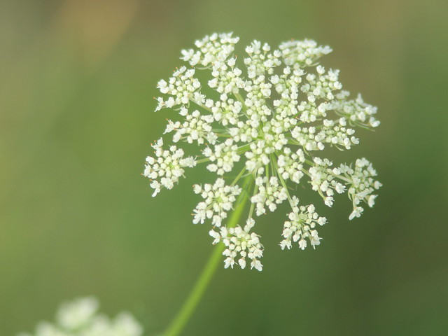 Queen Annes Lace 20110803