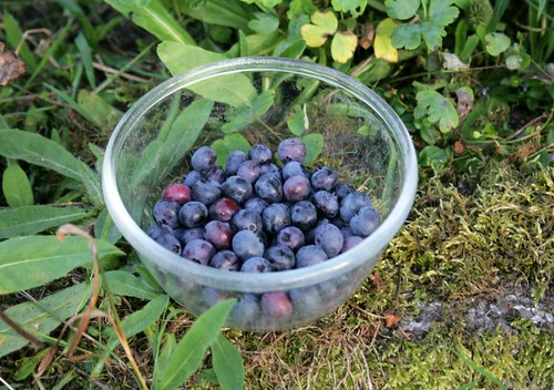 first blueberry harvest of the summer