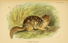 n236_w1150 (BioDivLibrary) Tags: smithsonian libraries australia nsw vic sa tas marsupials sil institution easternquoll monotremes geo:country=australia dasyurusviverrinus taxonomy:binomial=dasyurusviverrinus commondasyure bhl:page=15043980 dc:identifier=httpbiodiversitylibraryorgpage15043980
