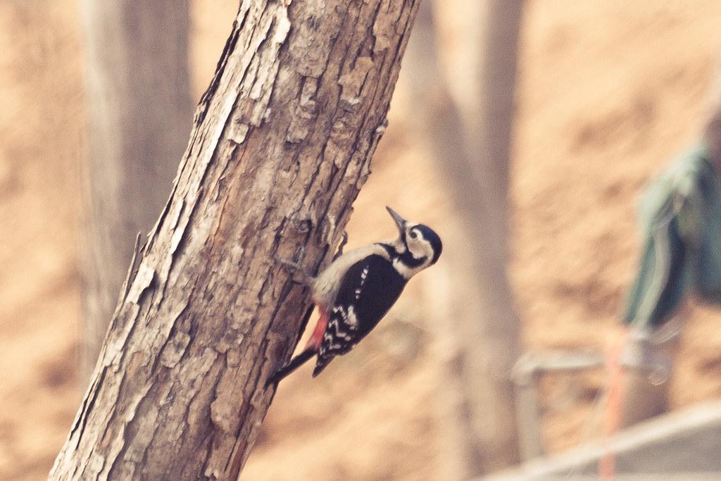 Woody Woodpecker - Spring Festival 2011