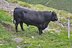 Angus Stier auf Muottas Muragl (ritsch48) Tags: switzerland rind angus engadin stier graubünden muottasmuragl