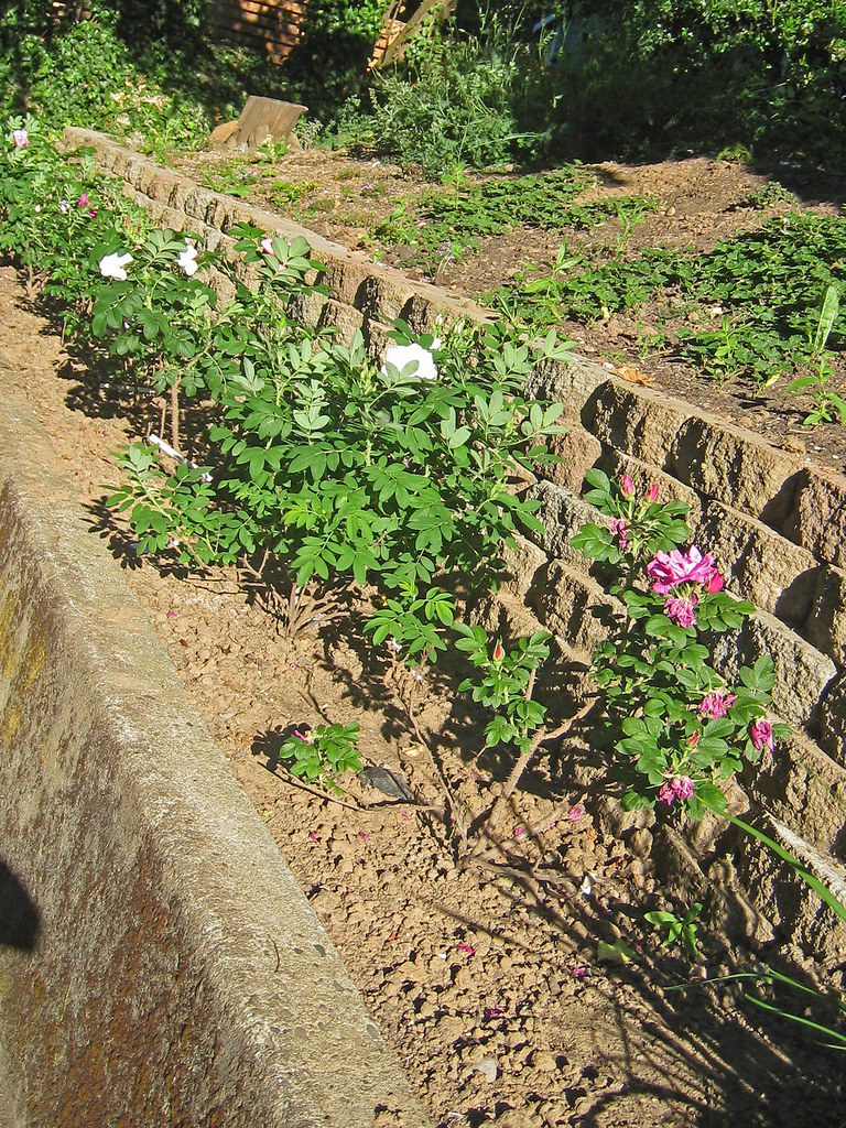 rugosa roses in the front