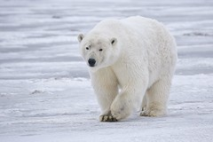 Polar_Bear_-_Alaska