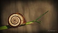 Chiocciola - 251 (Pep Companyó - Barraló) Tags: snail escargot caracol molusc chiocciola josep cargol caragol helico barraskilo gasteropode companyo cagaraula barralo