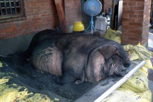 不健康不快樂的神豬,卻要用來祭拜神明。圖片來源:台灣動物社會研究會