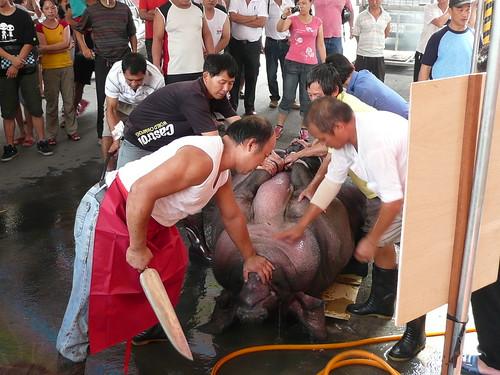 公開屠宰,未先迷昏豬隻活生生刺喉屠宰,違反人道屠宰。圖片來源:台灣動物社會研究會
