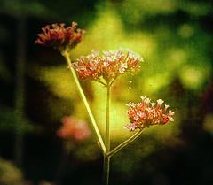 Verbena (~Jeannine~) Tags: flowers flower texture purple ie verbena citrit tatot magicunicornverybest magicunicornmasterpiece sbfmasterpieces sbfgrandmaster