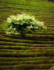 Biodiversity? (Keith Mac Uidhir 김채윤 (Thanks for 8m views)) Tags: white tree verde green nature asian asia asien groen do natural tea farm south hill korea vert korean rows plantation fields asie grün agriculture southkorea tp bushes 緑 aasia asya zielony á hijau hedges azia azië 한국 yeşil ásia berde südkorea зеленый 나무 boseong 녹 绿色 亚洲 보성 亞洲 châu xanh jeollanamdo أخضر 녹차 녹색 아시아 สีเขียว آسيا jeollanam ázsia азия πράσινοσ हरा সবুজ güneykore ασία 大韩民国 mygearandme mygearandmepremium mygearandmebronze mygearandmesilver mygearandmegold mygearandmeplatinum 녹차밧 азиэ