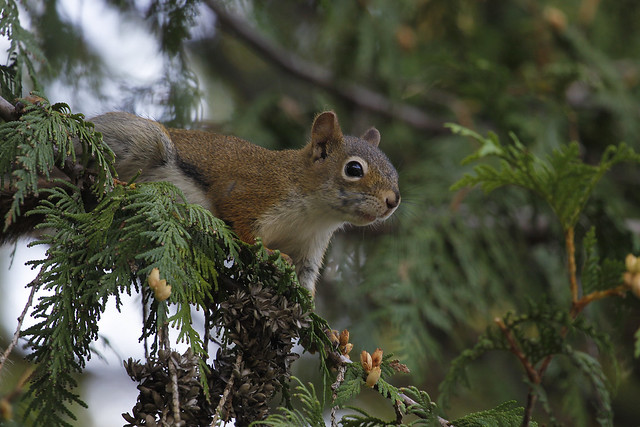 red squirrel5