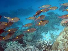 Maldives underwater: School of fishes in the blue (presbi) Tags: snorkeling maldives tropicalfish maldive thudufushi pescitropicali saariysqualitypictures doublyniceshot doubleniceshot tripleniceshot mygearandme mygearandmepremium mygearandmebronze mygearandmesilver mygearandmegold mygearandmeplatinum mygearandmediamond ringexcellence dblringexcellen