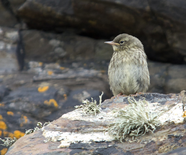 rock pipit fledgling 6