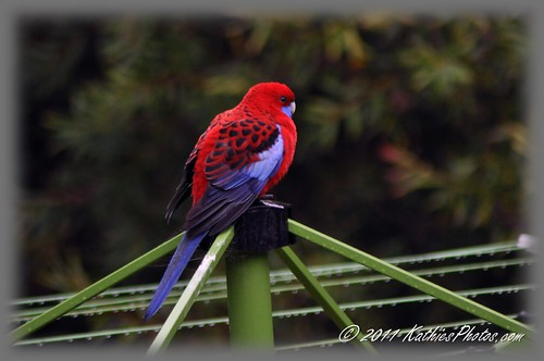 191-365 Crimson Rosella on our washing line