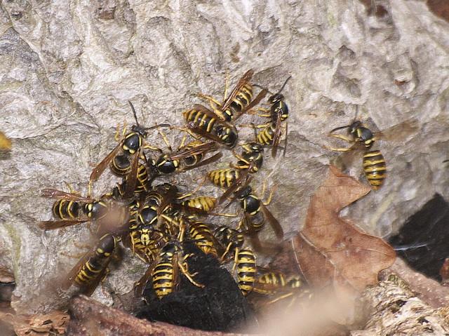 DSC_8245 wasp nest