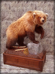 "Brown Bear Taxidermy • <a style=""font-size:0.8em;"" href=""http://www.flickr.com/photos/27376150@N03/5930552415/"" target=""_blank"">View on Flickr</a>"