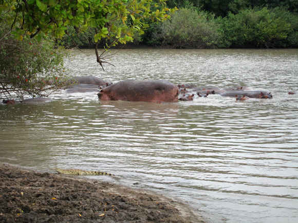 Hippos at Selous