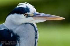 Heron (Russ Beinder) Tags: bird castle heron closeup germany de beak schloss schwetzingen badenwürttemberg bundesland 85mmf14 85mmf14g