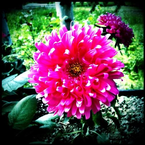 #Bright #pink #flower !!