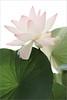 Lotus Flower - IMG_2973 (Bahman Farzad) Tags: flower macro yoga peace lotus relaxing peaceful meditation therapy lotusflower lotuspetal lotuspetals lotusflowerpetals lotusflowerpetal