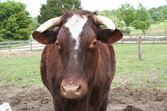 Red Devon Ox at the National Colonial Farm