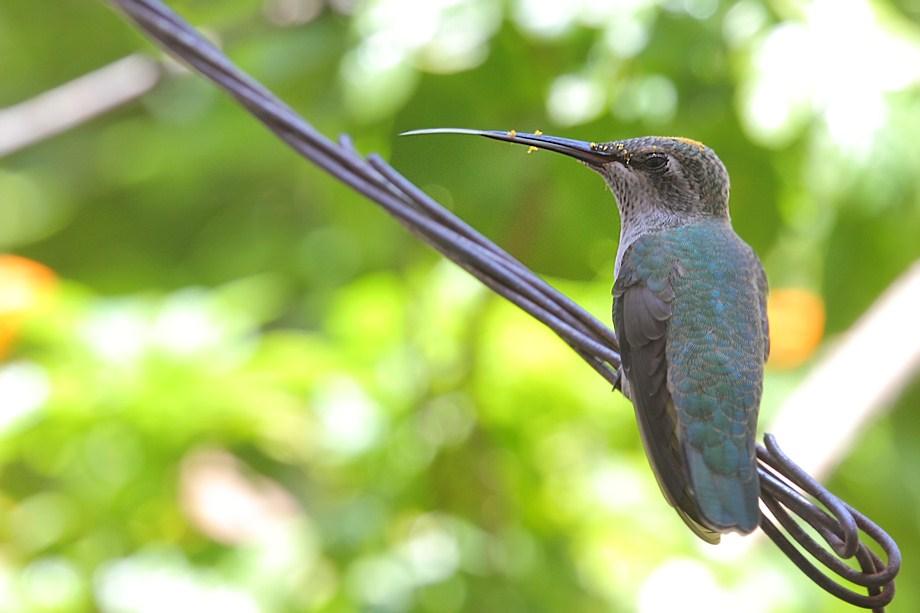 Immature Anna's Hummingbird 071511
